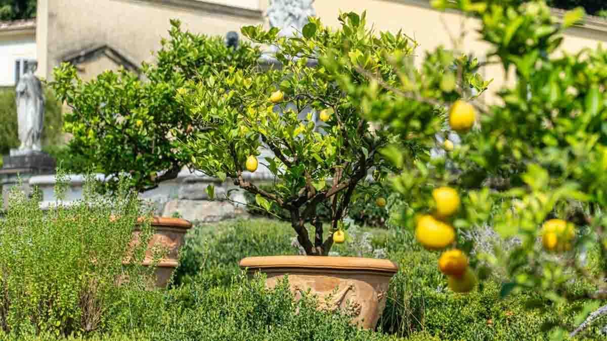 Le citronnier en pot : voici comment planter, tailler et entretenir !